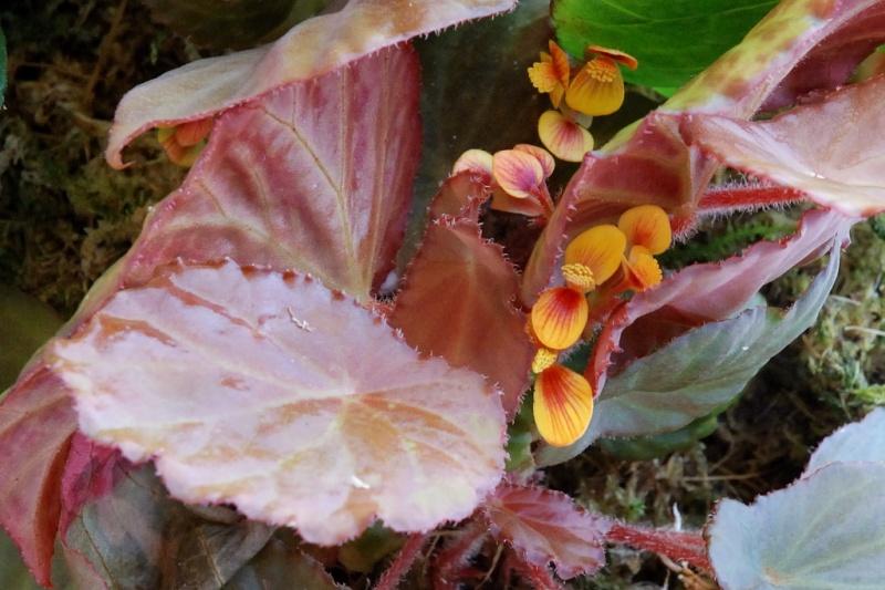 Begonia quadrialata subsp quadrialata Quad3910