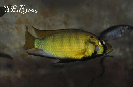 Astatoreochromis Alluaudi Dsc_0019
