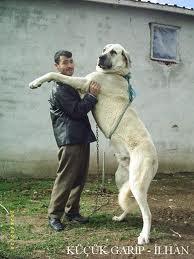 [Sondage] Top 10 des chiens les plus impressionants - Page 2 Kangal10
