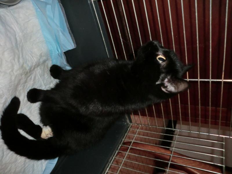 MIKO  jolie chatte noire 4 fractures du bassin a l'adoption - Page 2 Cimg7716