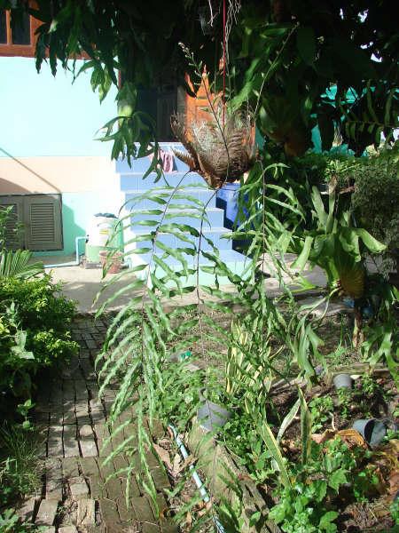 Drynaria quercifolia Drynar10