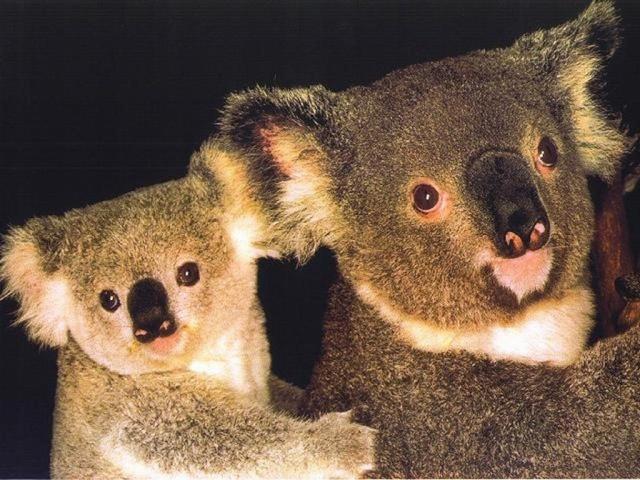 détail de photo !!! - Page 6 Koala310