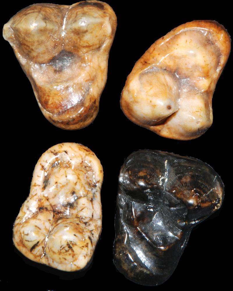 fossiles des faluns helvétien de touraine Amphic10
