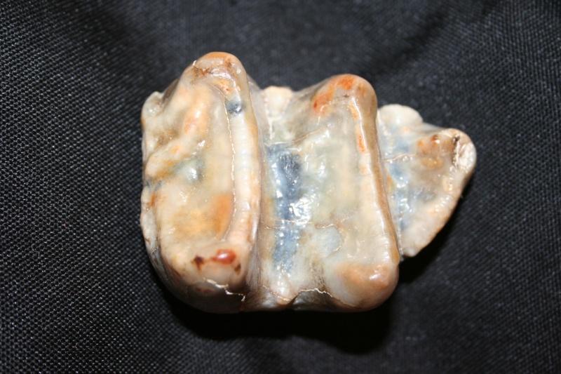 fossiles des faluns helvétien de touraine Img_0011
