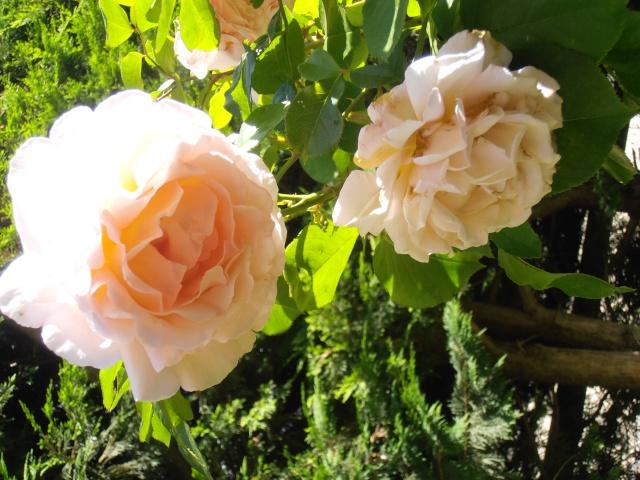 Rosa André le Notre Fleur101
