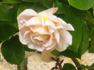 Rosa André le Notre Fleur109