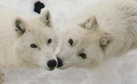 Les loups 220lou11