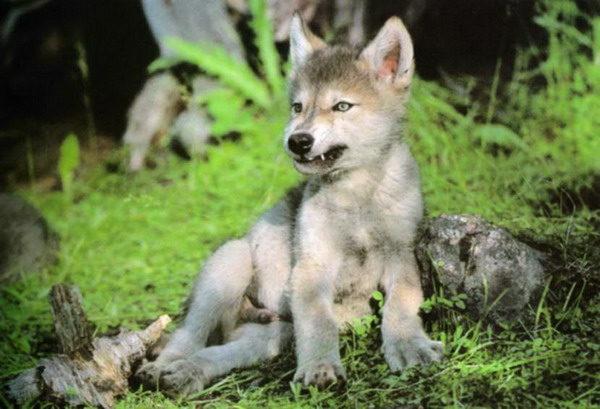 Les loups Bbloup10