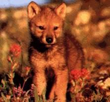 Les loups Bebe2010