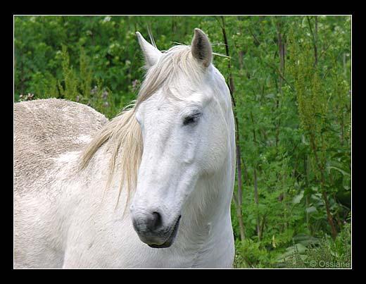 Les chevaux ! Camarg10