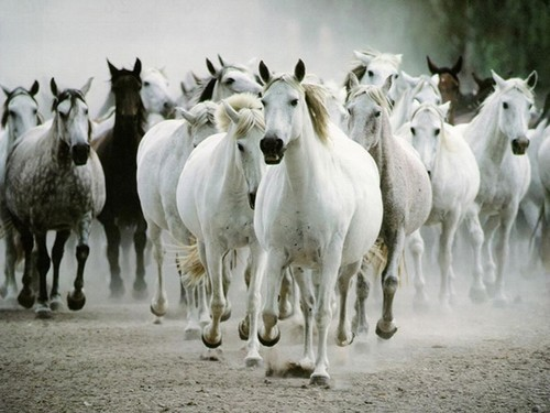 Les chevaux ! Cheava10