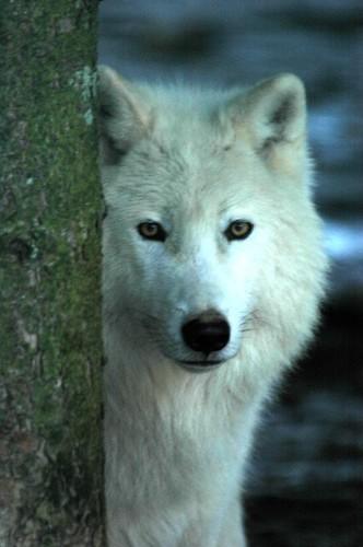 Les loups Louve_10