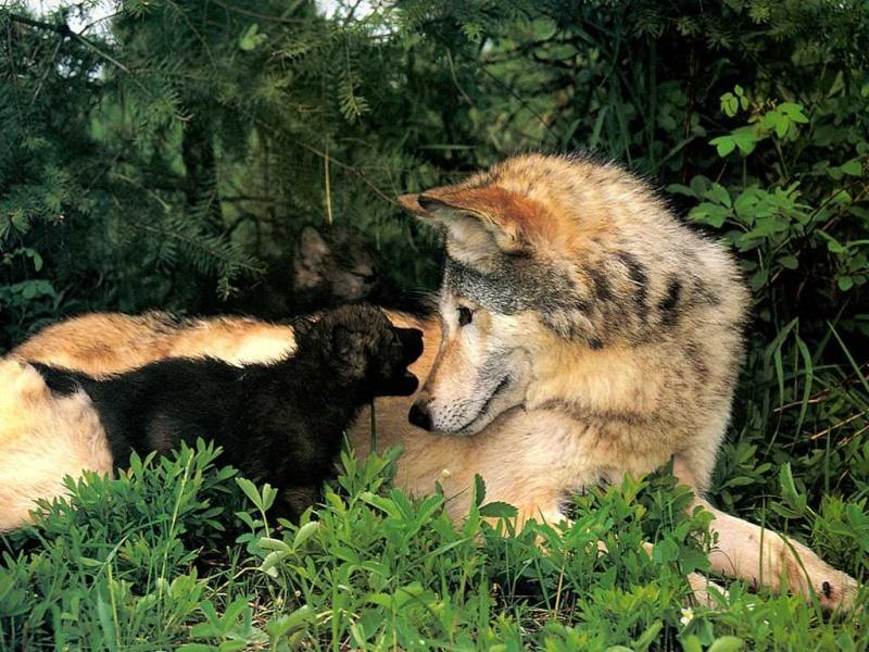 Les loups P-wolv10