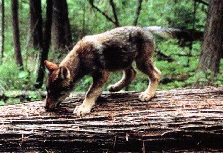 Les loups P_tit210