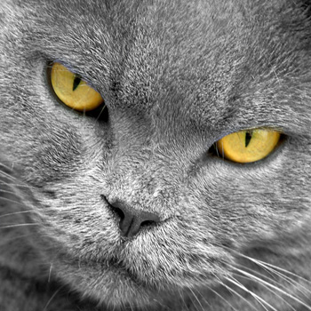 8 août : Journée internarionale du chat — le chat dans toute sa beauté Tibert11