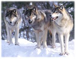 Les loups Wolves10