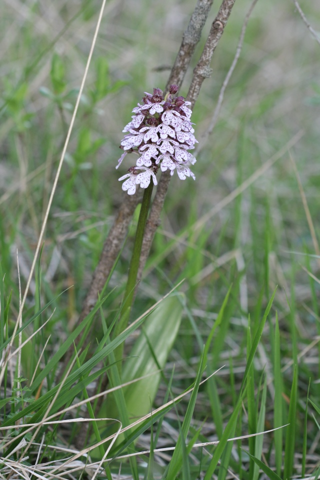 Orchis purpurea ( Orchis pourpre ) Photo_22