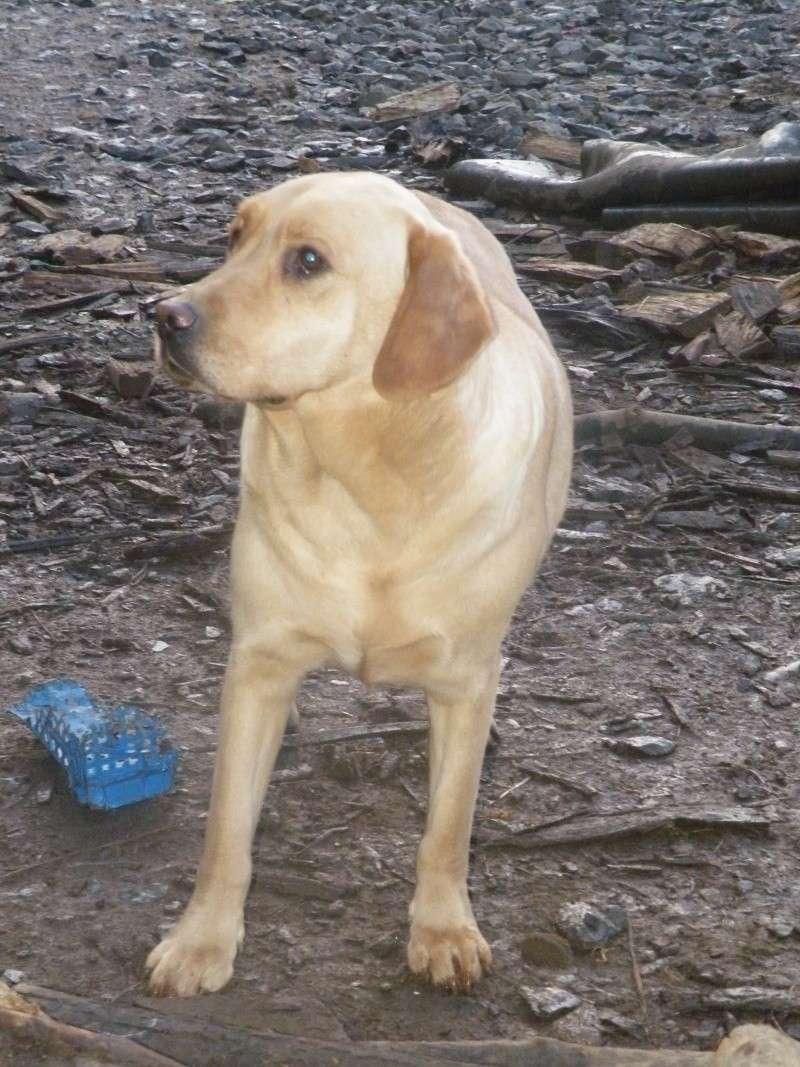 ERCULE  - labrador 8 ans (depuis l'age de 4 mois au refuge)  ALDPA (54) Dscf6824