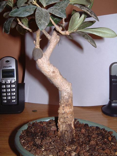 un avis pour cet olivier Dscf0092