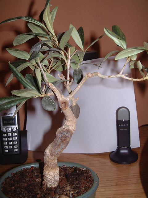 un avis pour cet olivier Dscf0093