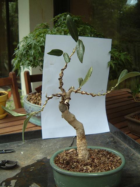 un avis pour cet olivier Dscf0095