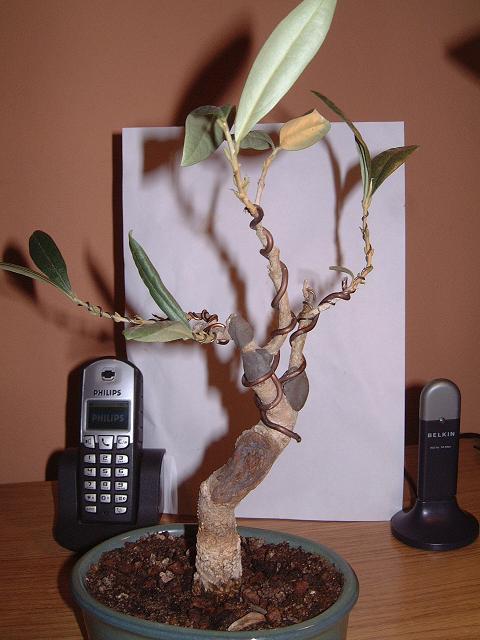 un avis pour cet olivier Dscf0103