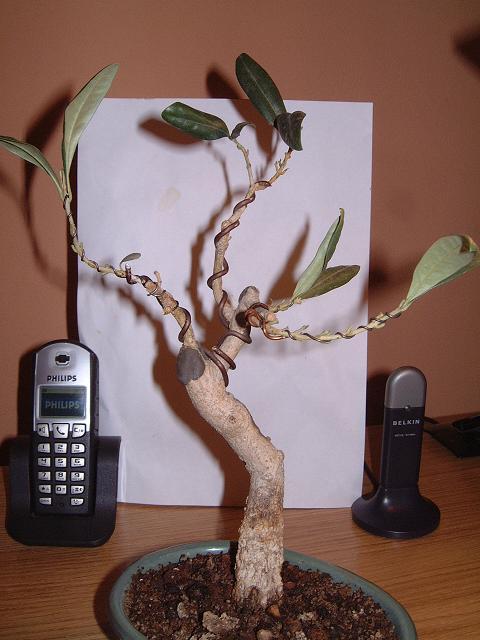 un avis pour cet olivier Dscf0104