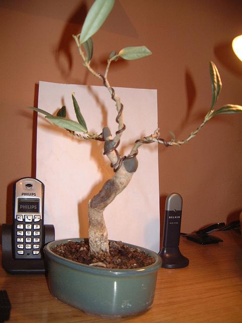 un avis pour cet olivier Dscf0109