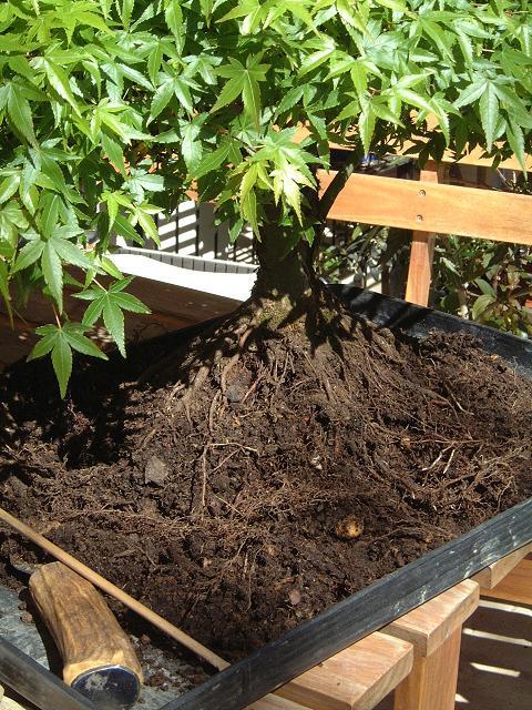 arbres acheté chez Galinou Dscf0130