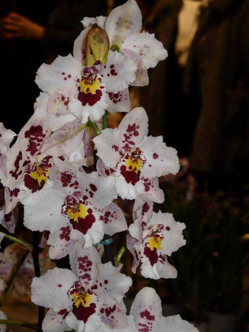 photos de mes orchidées en fleur P1020510