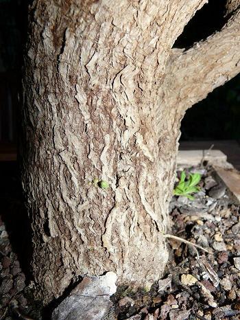 Solanum rantonnetti P1020910