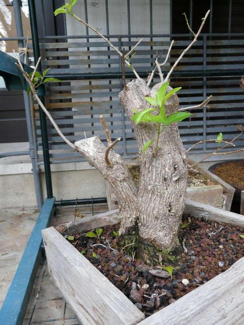 Solanum rantonnetti P1050041