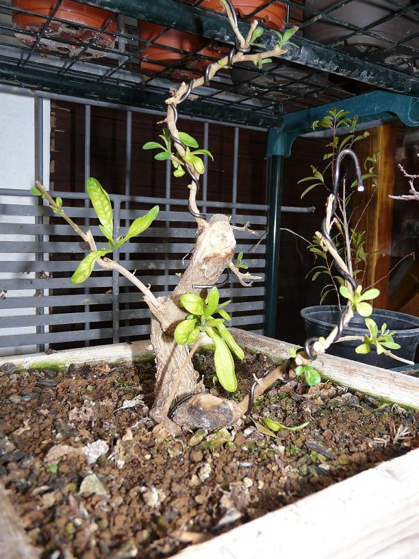 Solanum rantonnetti P1050042