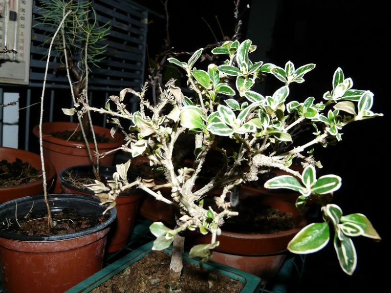 ligustrum panaché en perdition P1050050