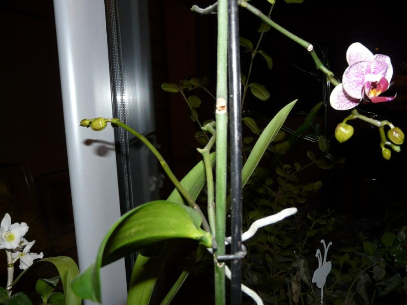 floraison sans fin P1050059