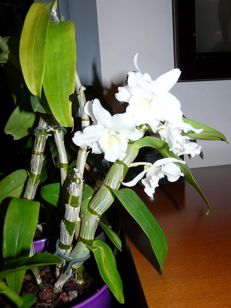 floraison sans fin P1050115