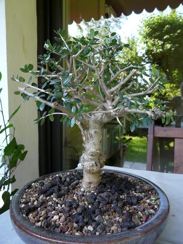 olivier de pepiniere P1050656