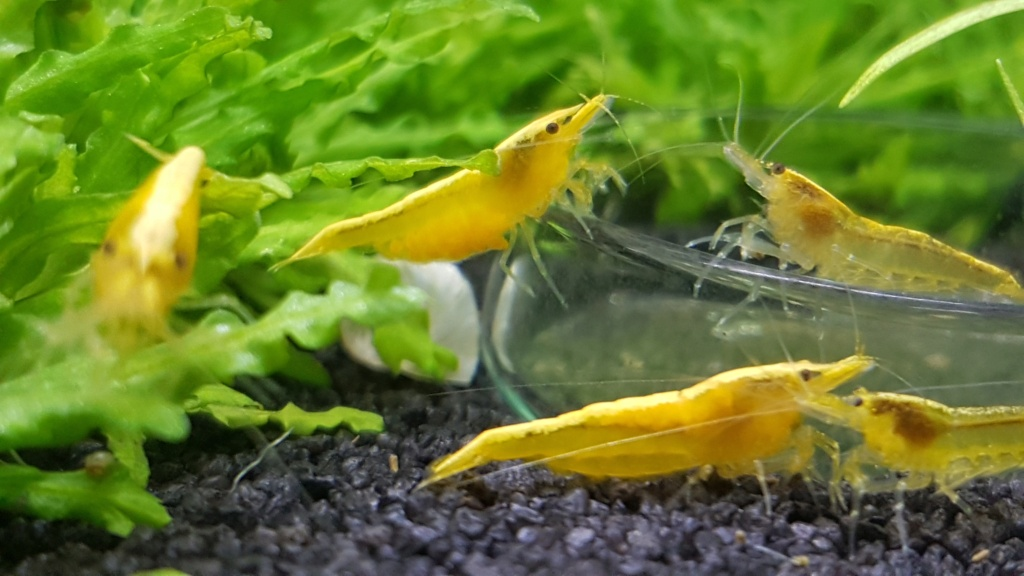 Premier aquarium, Nano 30L------>55L  pour Néocaridina - Page 2 20201013