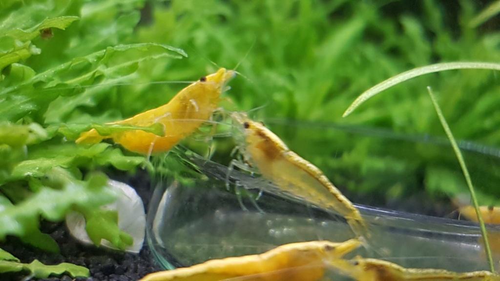 Premier aquarium, Nano 30L------>55L  pour Néocaridina - Page 2 20201014