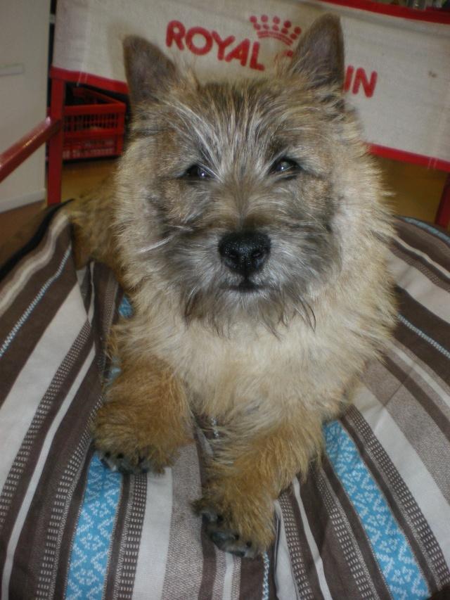 BALMA -adte - adoptiondesterriersecossais@gmail.com  Calin110