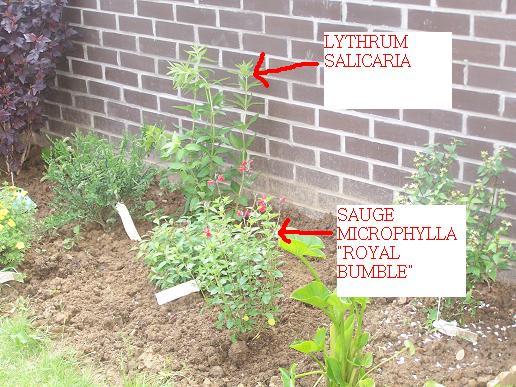 De nouvelles plantes dans mon jardin 100_3438