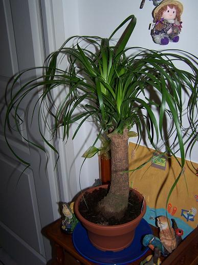 Une nouvelle plante aujourd'hui, mais je sais plus son nom ??? [beaucarnea recurvata] 100_3511