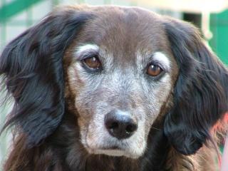 Incontinence du vieux chien et crise d'urémie Alioch11