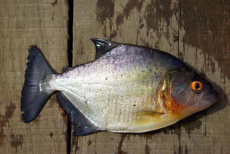 Photos de piranhas identifiés photo de arapaima 3810