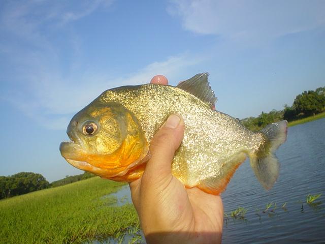 Photos de piranhas identifiés photo de arapaima Dsc01810