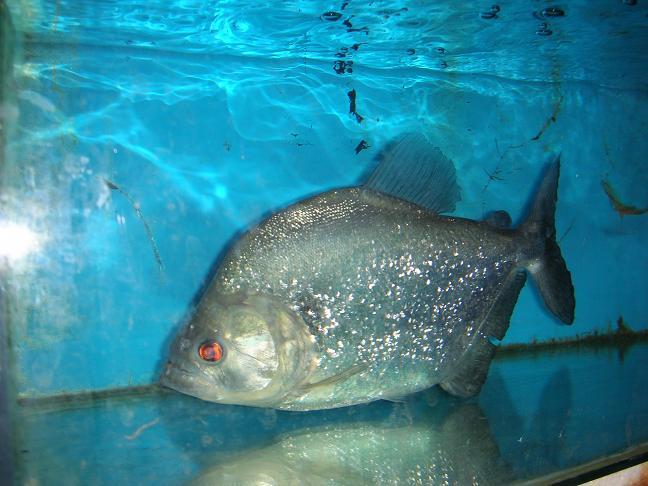 Photos de piranhas identifiés photo de arapaima Dscn0610
