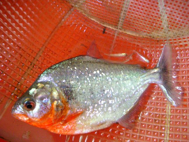 Photos de piranhas identifiés photo de arapaima Dscn1510