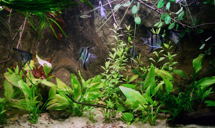 Pterophyllum scalaire Img07811