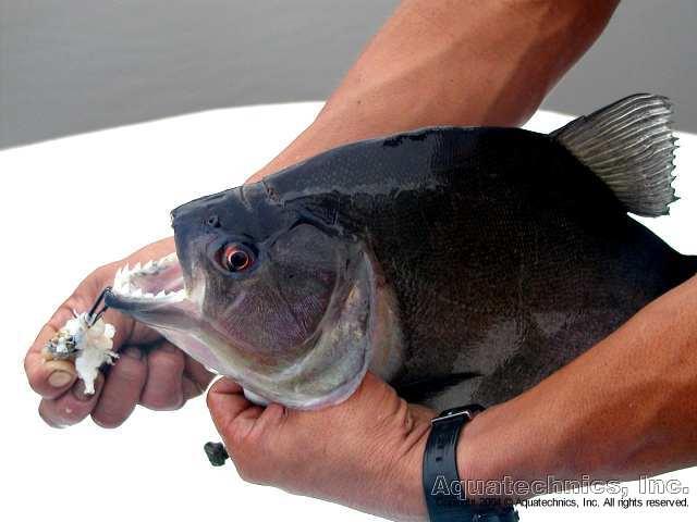 Photos de piranhas identifiés photo de arapaima Trip8210