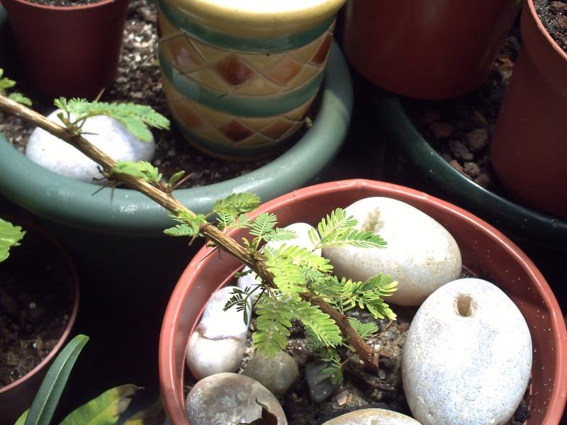 identification de plantes tropicales Acacia10
